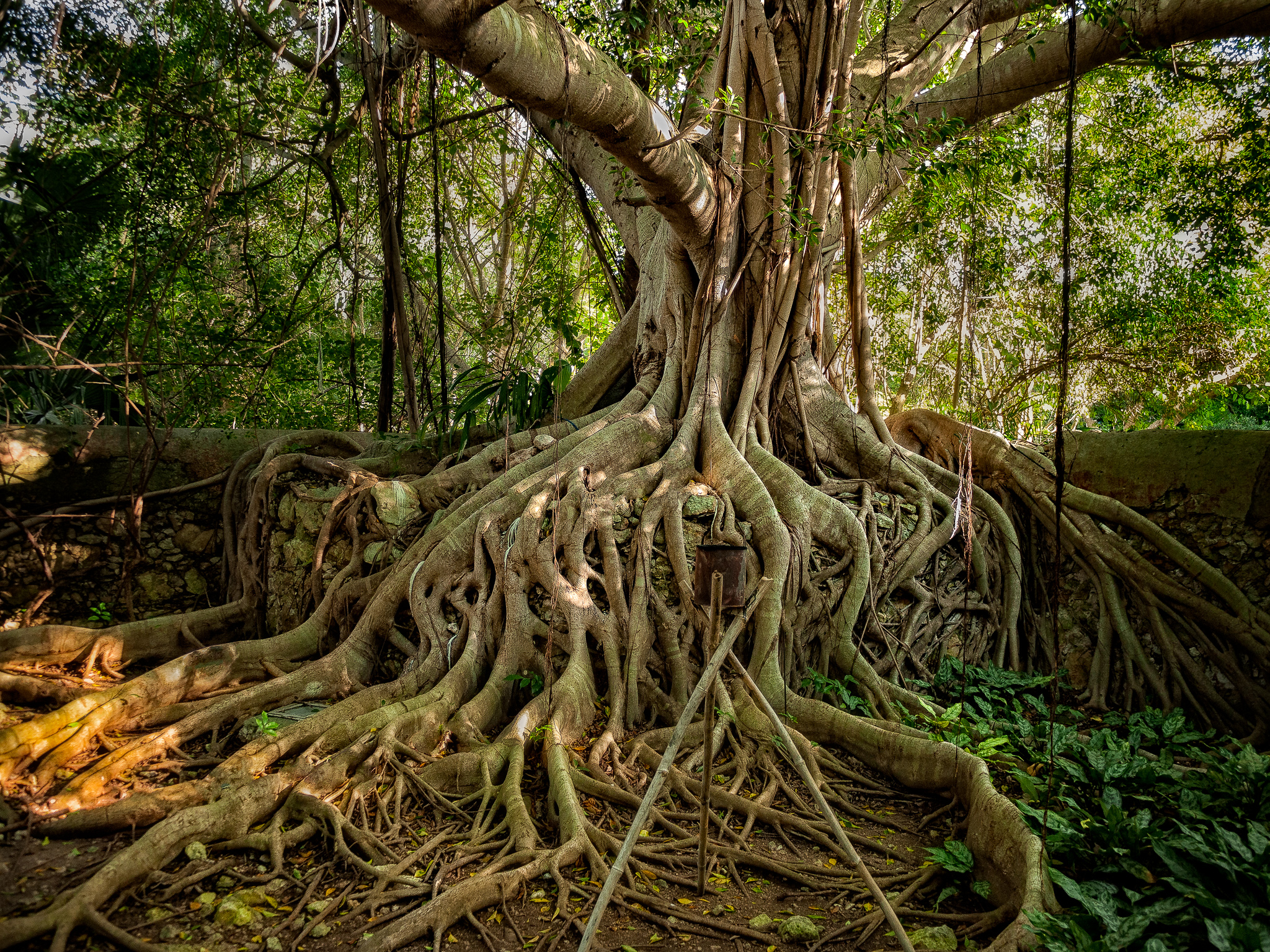 Banyan tree,Hacienda San Jose Cholul, Yucatan, Mexico