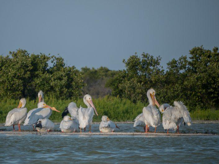 American White Pelicans, Rio Lagartos