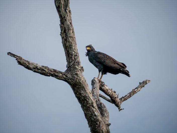 Black hawk, Rio Lagartos