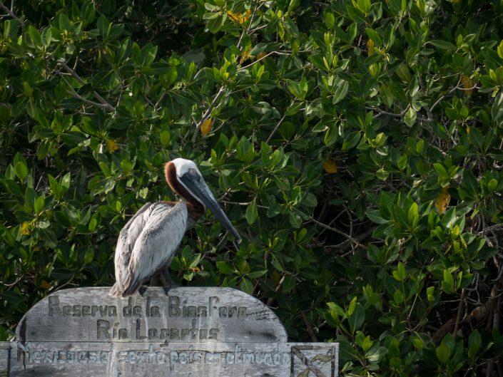 Brown Pelican, Rio Lagartos