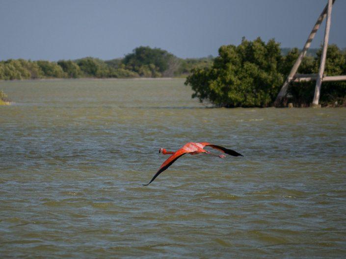 Flamingo in flight, Rio Lagartos