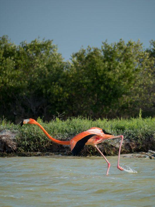 Flamingo taking off, Rio Lagartos
