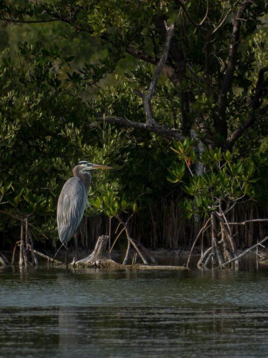 Great Blue Heron, Rio Lagartos