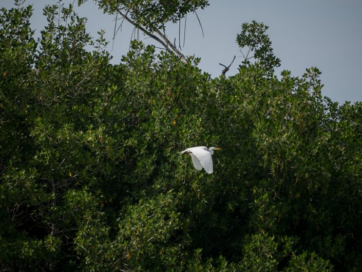 Great Egret in flight, Rio Lagartos