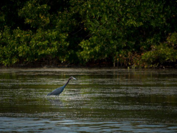 Little Blue Heron, Lagartos
