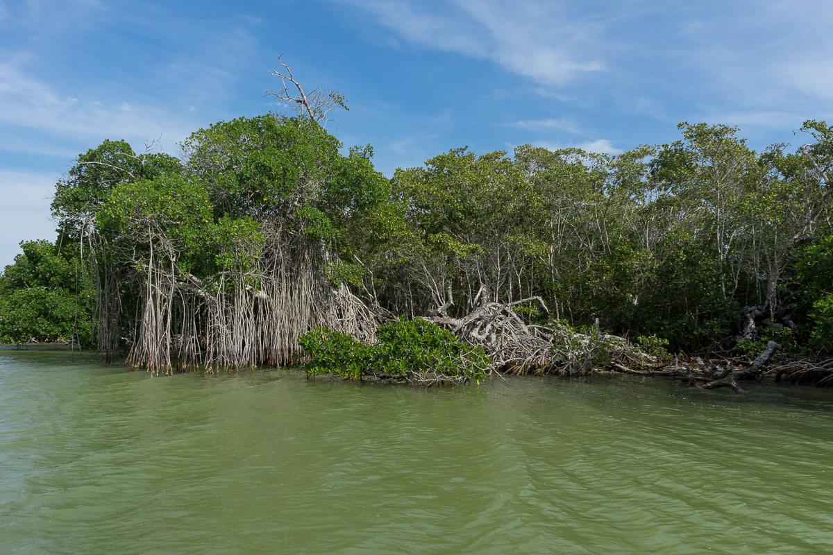 Mangroves in Rio Lagartos