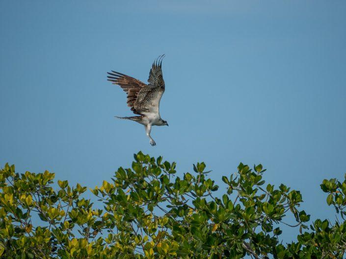 Osprey in flight, Lagartos