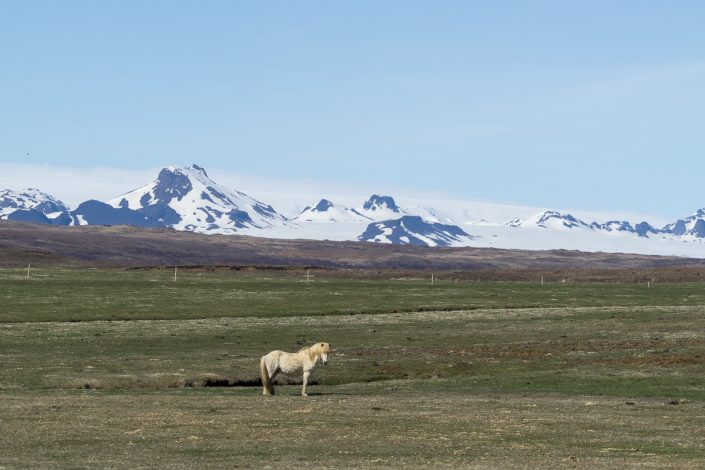 Icelandic horse, snowcapped mountain